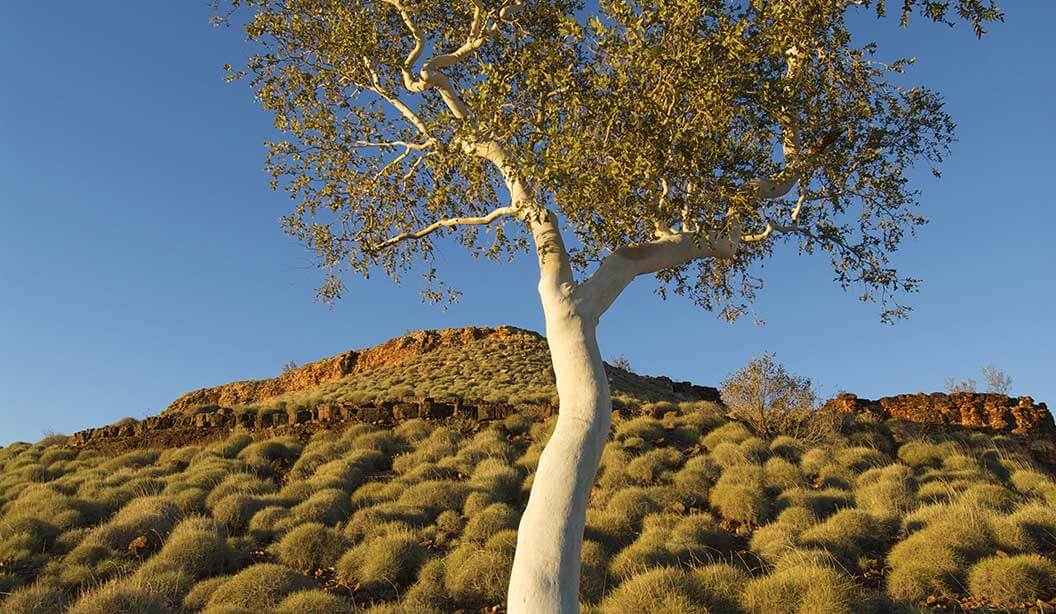 Snappy-gum-tree-in-spinifex